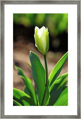 Glowing Tulip Framed Print