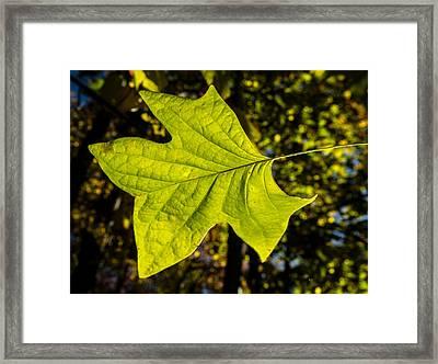 Glowing Tulip Poplar Leaf Framed Print