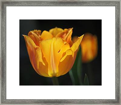 Glowing Tulips Framed Print by Rona Black