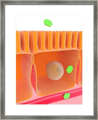 Glucose Absorption Framed Print by Science Photo Library