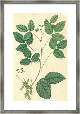 Glycine Max Framed Print by Natural History Museum, London