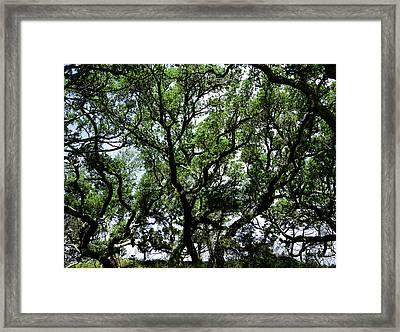 Gnarled Live Oaks Framed Print