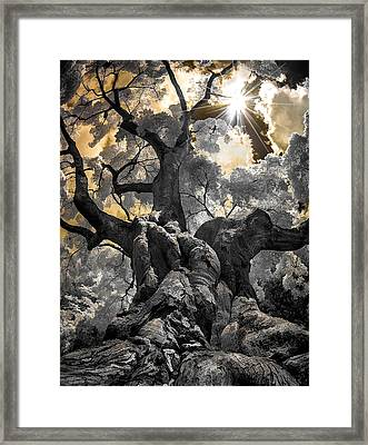 Framed Print featuring the photograph Gnarled Maple by Steve Zimic