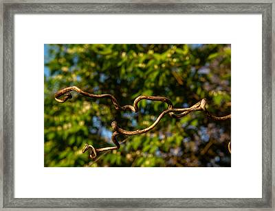 Gnarled Plant Tendrils Framed Print by Douglas Barnett