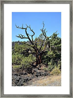 Gnarled Tree On The Lava Beds - Portrait Framed Print by Rich Rauenzahn