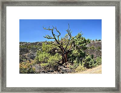 Gnarled Tree On The Lava Beds Framed Print by Rich Rauenzahn