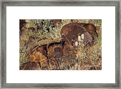 Goanna - Central Australia Framed Print by Steven Ralser
