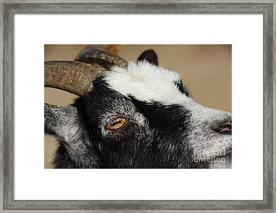Goat 5d27189 Framed Print by Wingsdomain Art and Photography
