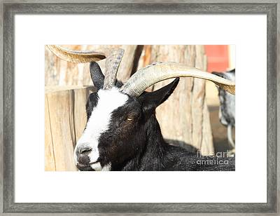 Goat 7d27396 Framed Print by Wingsdomain Art and Photography