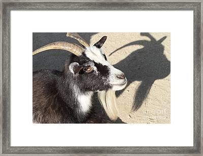 Goat 7d27402 Framed Print by Wingsdomain Art and Photography