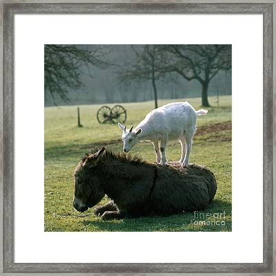 Goat And Donkey Framed Print