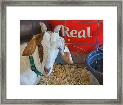 Goat At County Fair Framed Print by Nikolyn McDonald
