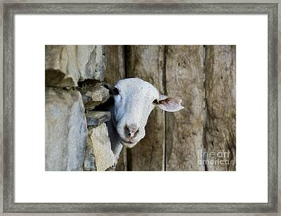 Goat Looking Oleo Framed Print