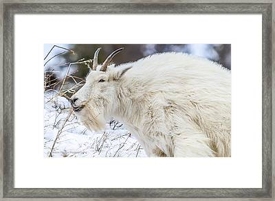 Framed Print featuring the photograph Goat On The Mountain by Yeates Photography