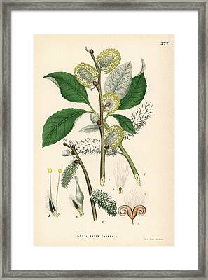 Goat Willow Tree Framed Print by Florilegius/natural History Museum, London
