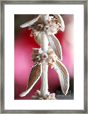 Goats Ear Framed Print