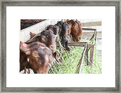 Goats Eat Hay Framed Print by Photostock-israel