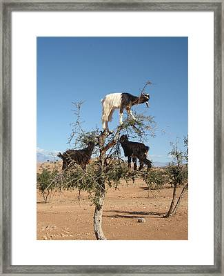 Goats In A Tree Framed Print