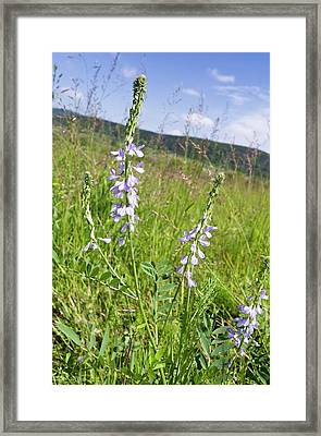 Goat's-rue (galega Officinalis) In Flower Framed Print