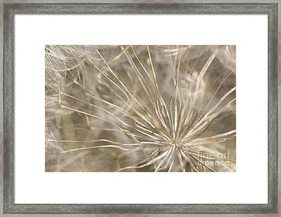 Goatsbeard Framed Print by Anne Gilbert
