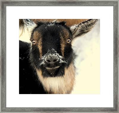 Goatstache Framed Print by Kathy Bassett