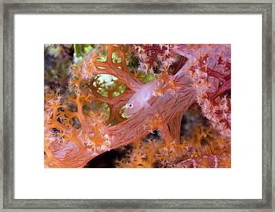 Goby Fish (gobiidae Framed Print