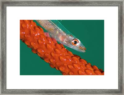 Goby On Its Whip Coral Host Framed Print
