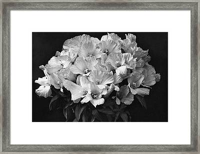 Godetia Wild Roses Framed Print by Reginald A. Malby