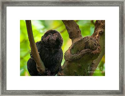 Framed Print featuring the photograph Goeldi's Callimico by Bianca Nadeau