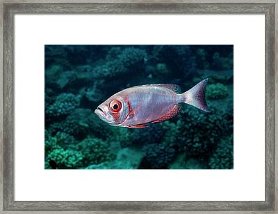 Goggle Eye On A Reef Framed Print