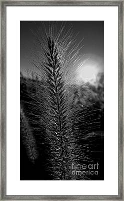 Going To Seed - Bw Framed Print by James Aiken