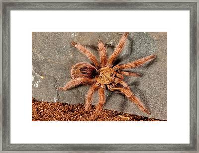 Gold Burst Tarantula, Paraphysa Parvula Framed Print by David Northcott