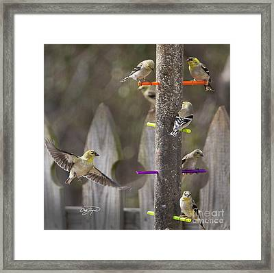 Gold Finch Cleared For Landing Framed Print by Cris Hayes
