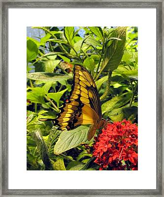 Gold Giant Swallowtail Framed Print by Jennifer Wheatley Wolf