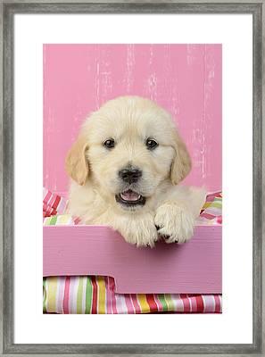 Gold Retriever Pink Background Framed Print by Greg Cuddiford