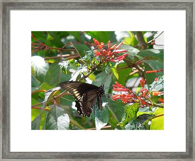 Framed Print featuring the photograph Gold Rim Swallowtail by Ron Davidson