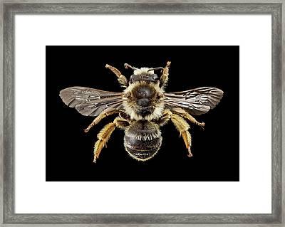 Gold-tailed Melitta Bee Framed Print
