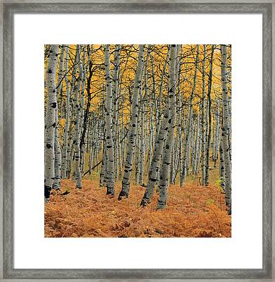 Golden Aspen Forest Framed Print
