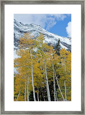 Golden Aspen Trees In Fall Colors Framed Print by Howie Garber