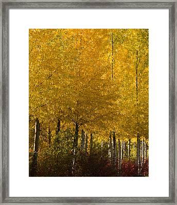 Golden Aspens Framed Print by Don Schwartz