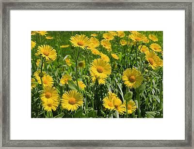Golden Asters Framed Print