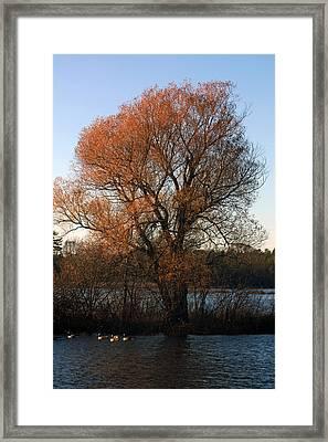 Golden Autumn Framed Print by Rhonda Humphreys