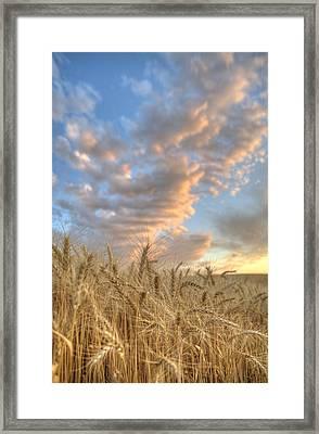 Golden Barley Framed Print