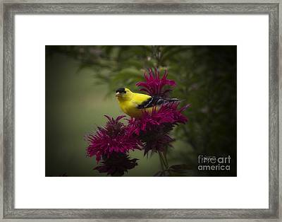Golden Bee Balm Framed Print
