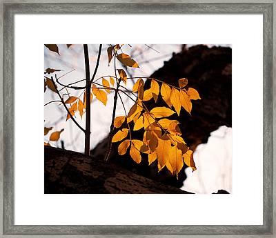 Golden Beech Leaves Framed Print by Rona Black