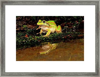 Golden Bell Treefrog, Litoria Aurea Framed Print by David Northcott