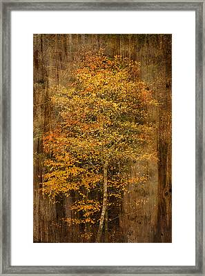 Golden Birch Framed Print by Liz  Alderdice