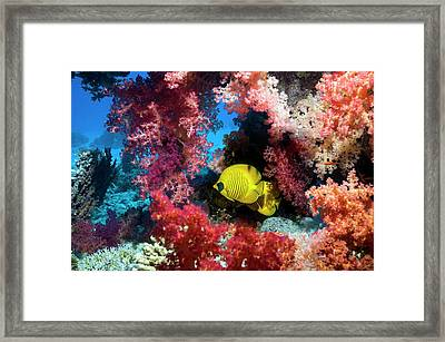 Golden Butterflyfish And Soft Coral Framed Print by Georgette Douwma