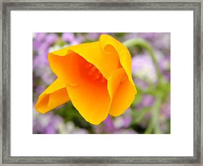 Golden California Poppy Framed Print by Chris Berry