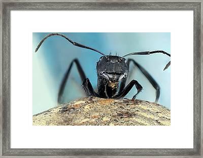 Golden Carpenter Ant Framed Print